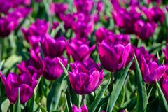Field of purple tulips in Holland , spring time colourful flowers. Keukenhof park royalty free stock photo