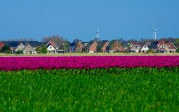 Field of purple tulips in Holland , spring time colourful flowers. Keukenhof park royalty free stock image