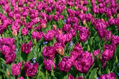 Field of purple tulips in Holland , spring time colourful flowers. Keukenhof park royalty free stock photography