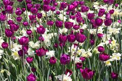 Field of Purple Tulips and Pale Yellow Daffodils. Frame is filled with dark purple tulips interspersed with feathery, pale yellow daffodils and lots of greenery Royalty Free Stock Photo