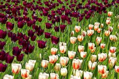 Field with purple tulips and white with orange pattern tulips. Background of tulips. Background women`s day.n stock photos