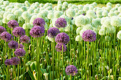 Field of Allium Flowers Stock Photo