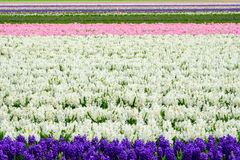 Field of purple and white hyacinth in Holland , spring time colourful flowers. Field of purple and white hyacinth in Holland , spring time royalty free stock images
