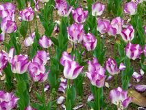 A field of purple and white tulips blooming Stock Photography
