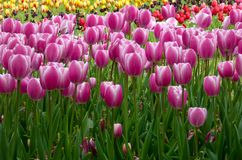 A field of purple and white tulips blooming Royalty Free Stock Photography