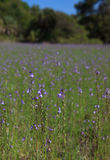 Field of purple wild flowers Royalty Free Stock Photo