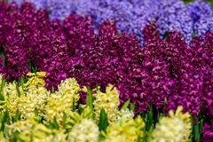 Field of purple,yellow and white hyacinth in Holland , spring time colourful flowers. Spring time stock photo