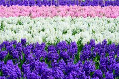 Field of purple,yellow and white hyacinth in Holland , spring time colourful flowers. Spring time royalty free stock photography