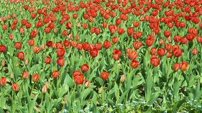 field röda tulpan royaltyfri bild