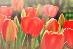 field röda tulpan Royaltyfria Bilder
