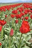 field röda tulpan Arkivfoto