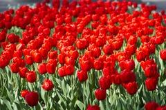 field röda tulpan Arkivbilder