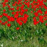 field röda tulpan Sommar Royaltyfria Bilder
