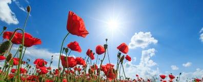 field rött wild för vallmor Royaltyfria Bilder