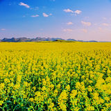 Field with Canola flower Royalty Free Stock Images
