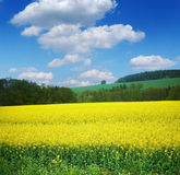 Field with rape Royalty Free Stock Photo