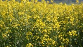 Field rape. In bloom. HD 1080p high-quality video stock footage