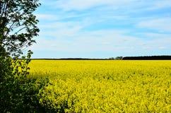 A field of rape. Field flourishing oilseed rape in Poland in Mazovia Stock Images