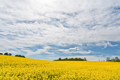 Field of rape flowers with green trees at the back Royalty Free Stock Photography