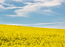 Field of rape flowers in summer. Landscape with a field of rape flowers and blue cloudy sky Royalty Free Stock Photos
