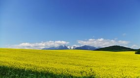 Field Of Rape. Rape field with High Tatras mountains in the background in Slovakia Stock Photos
