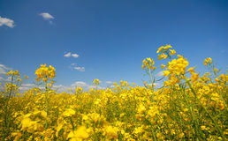 Field of rape's flowers Royalty Free Stock Images