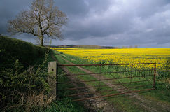 Field of rape seed. Royalty Free Stock Photography