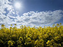 Field of rape seed Royalty Free Stock Photos