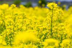 Field rape seed flower Stock Image