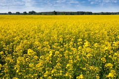 Field of rape seed in summer Stock Images