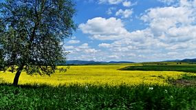 Field Of Rape. With silver birch tree on left side in Slovakia Stock Photography