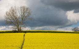 Field of Rape with Storm Clouds Stock Image