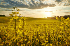 Field of. Sunset and the field of rape stock image
