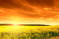 Field of rape at sunset Royalty Free Stock Photo