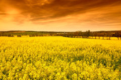 Field of rape at sunset Stock Photography