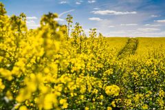 The field of rape. The yellow field of rape with a blue sky Royalty Free Stock Photo