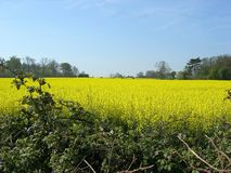 Field of rapeseed. In full flower Royalty Free Stock Images