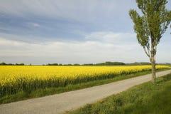 field rapeseed Στοκ Εικόνες