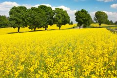 Field of rapeseed Stock Photos