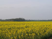 Field of Rapeseed against countryside backdrop, England royalty free stock images