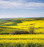 Field of Rapeseed. Agricultural field of rapeseed, plant for green energy Stock Images
