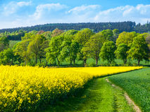 Field of rapeseed, aka canola or colza. Rural landscape with country road, green alley trees, blue sky and white clouds Royalty Free Stock Photos