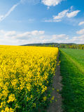 Field of rapeseed, aka canola or colza. Rural landscape with country road, green alley trees, blue sky and white clouds Royalty Free Stock Image