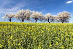 Field of rapeseed and alley of cherry tree Royalty Free Stock Photography