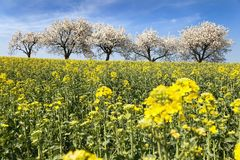 Field of rapeseed and alley of cherry tree Royalty Free Stock Photos