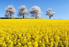 Field of rapeseed and alley of cherry tree Royalty Free Stock Images