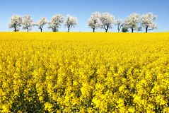 Field of rapeseed and alley of cherry tree Stock Image