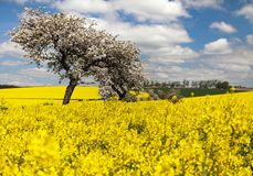 Field of rapeseed with apple tree Stock Photos