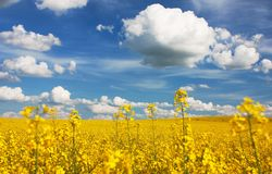 Field of rapeseed with beautiful cloud Royalty Free Stock Images