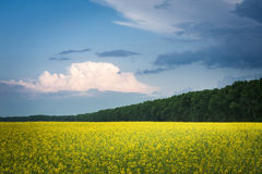 Field of rapeseed with beautiful cloud royalty free stock photography